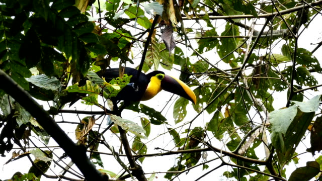 Chestnut-Mandibled Toucan (Ramphastos Ambiguus Swainsonii) hopping in a tree video