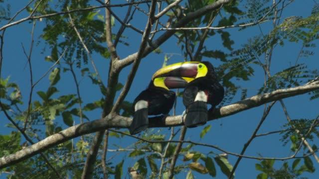 chestnut-mandibled toucan - appollaiarsi video stock e b–roll