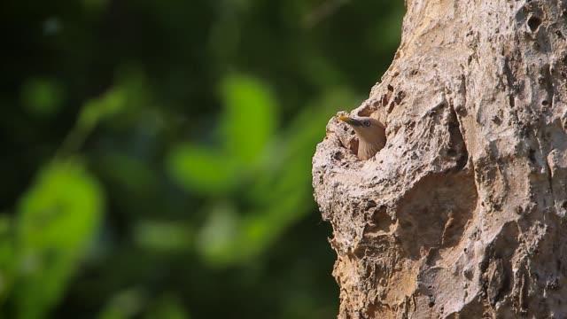 chestnut-tailed starling in bardia national park, nepal - park narodowy kanha filmów i materiałów b-roll