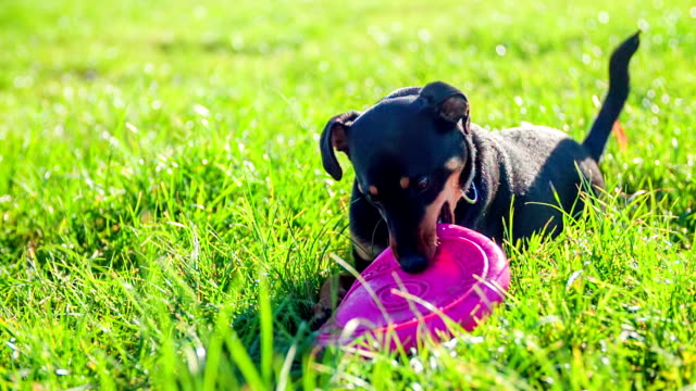 Chew the frisbee on a grass video