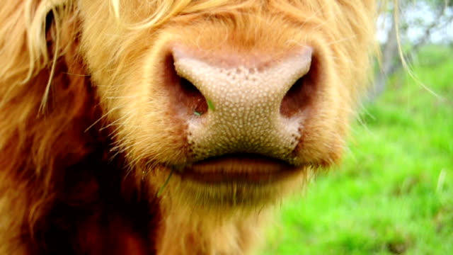 Chewing Bull - Close Up video