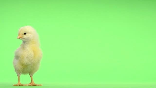 chick stałego i chirping przed zielony przycisk - młody ptak filmów i materiałów b-roll