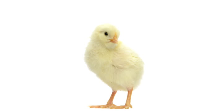 Chick standing and falling asleep video