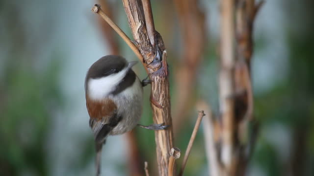 chickadee close-up
