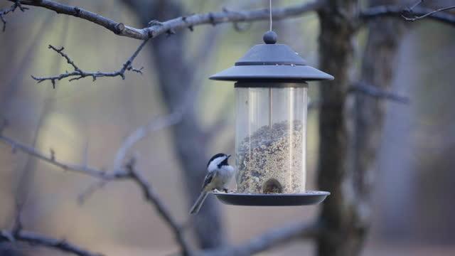 Chickadee Eating Bird Seeds