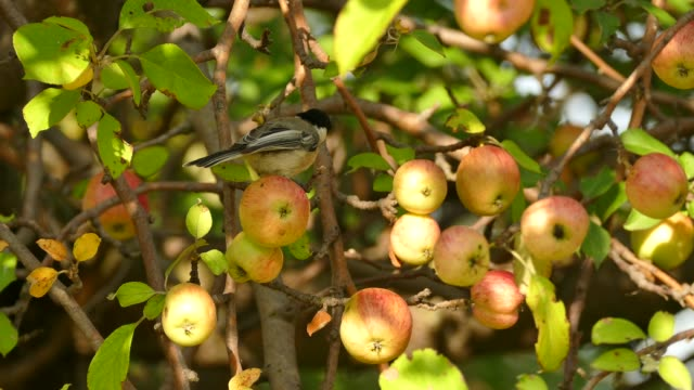 Chickadee hopping in apple tree with mature fruits under the sun