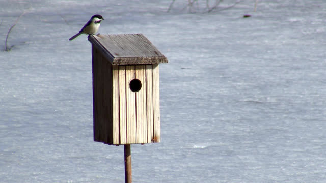 Chickadee video