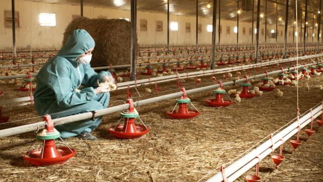 vídeos y material grabado en eventos de stock de cuidado de pollo - veterinario