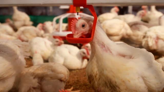 Chicken drinking water in farm video