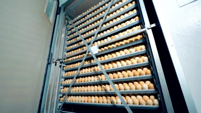vídeos de stock, filmes e b-roll de produção de ovos de galinha em aves de capoeira. incubadora de fazenda, equipamentos de agricultura moderna. incubação de ovos de galinha. 4k. - ave doméstica