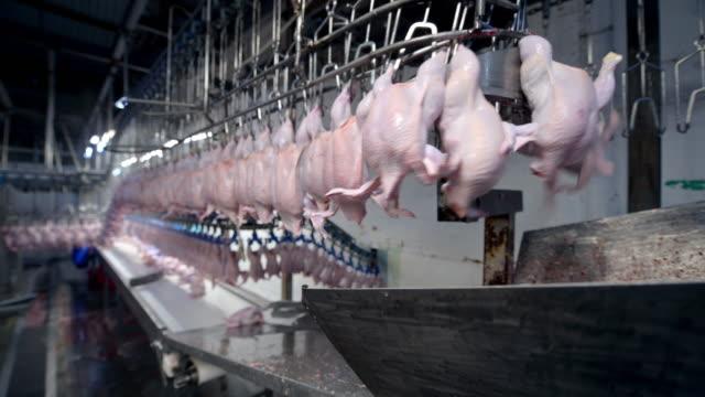 vídeos de stock, filmes e b-roll de fábrica de frango processo de transporte de carne industrial linha - ave doméstica
