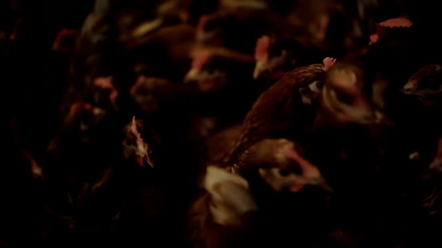 Chicken Farm, eggs and poultry production video