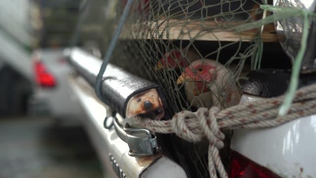 chicken farm poultry production. chicken transportation - żywy inwentarz filmów i materiałów b-roll