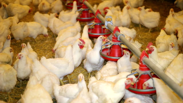 Chicken Farm, Poultry video
