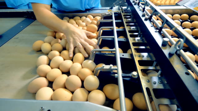 Chicken farm poultry workers sorting eggs at factory conveyor. Poultry farm industrial production line. video