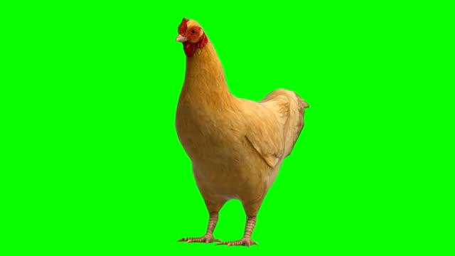 chicken idle animal green screen (loopable) - один объект стоковые видео и кадры b-roll