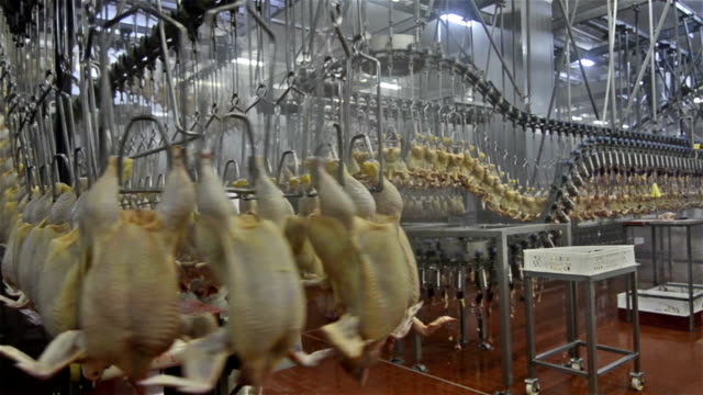 Chicken meat factory video
