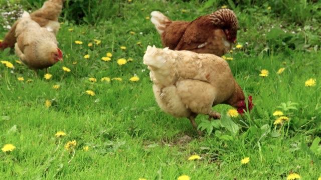 chicken walking on the grass in the yard - gospodarstwo ekologiczne filmów i materiałów b-roll