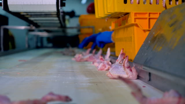 Chicken wings collected from the conveyor into yellow baskets. video