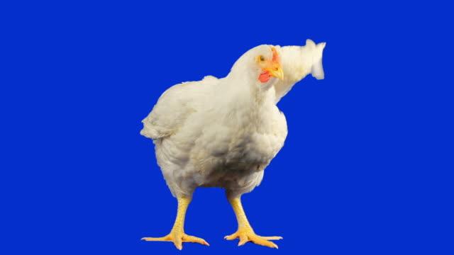 курица с luma matte - одно животное стоковые видео и кадры b-roll