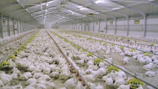 vídeos de stock, filmes e b-roll de ds galinhas na fazenda de aves de capoeira - ave doméstica