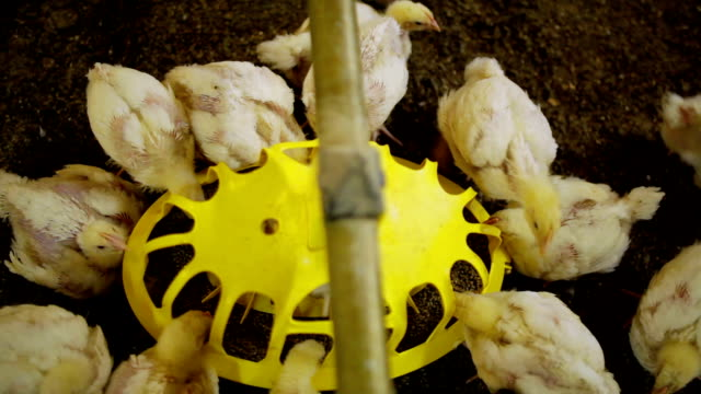 Chickens eating in farm video
