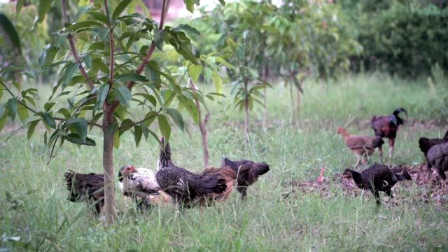 Chicken's family walking freely on meadow field outbuilding video
