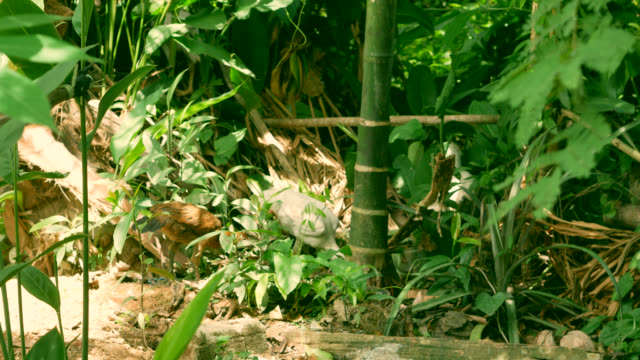 Chickens grazing in the garden.