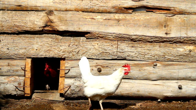 Chickens in a wooden chicken coop video