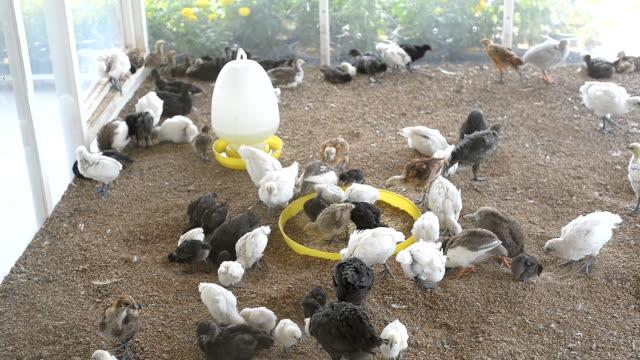 Chickens in Chicken House video
