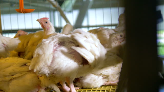 Chickens in poultry cages. Agricultural industry concept.