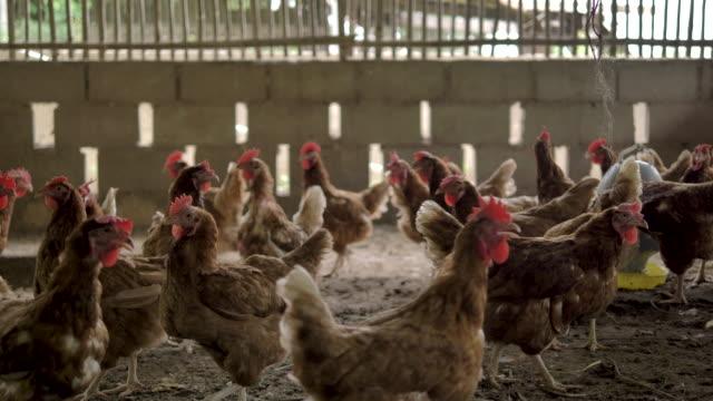 Chickens Walk Around a Coop