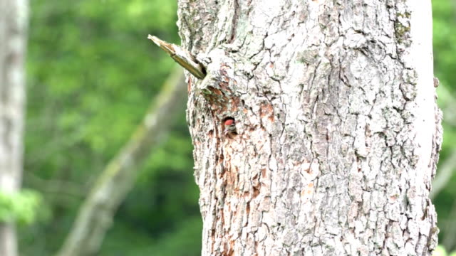 Chicks a bunted woodpecker waits hungry for mother