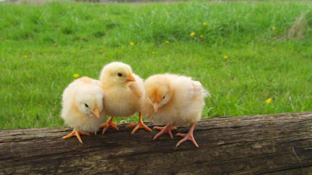 Chicks on a log hang out together. video
