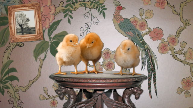 Chicks on a pedestal. video