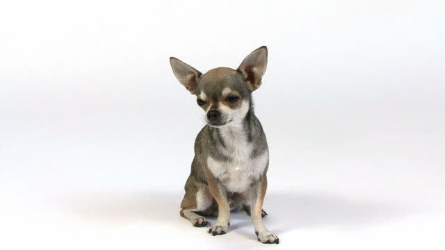 Chihuahua, 3 years old, sitting and looking at the camera video