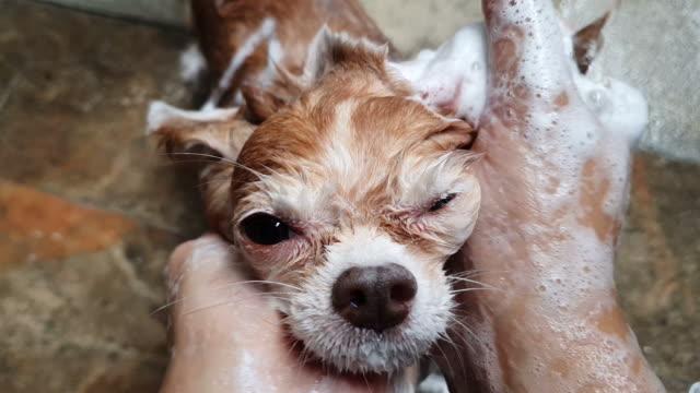 Video Chihuahua bathing