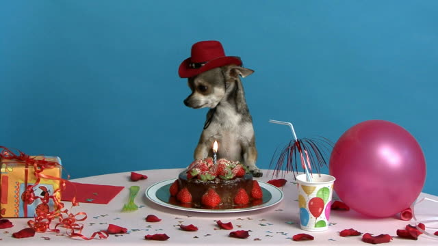Chihuahua celebrating its birthday Chihuahua sitting at its birthday table  happy birthday stock videos & royalty-free footage