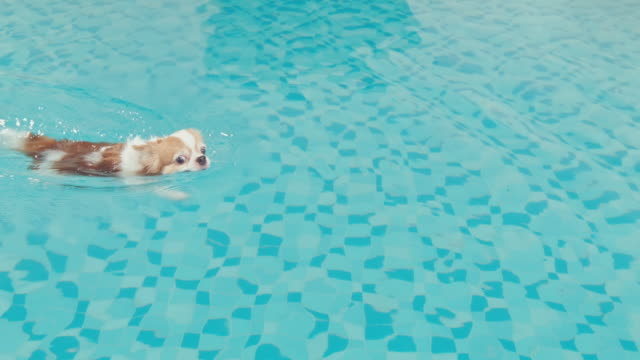 Chihuahua dog enjoy swimming in pool video