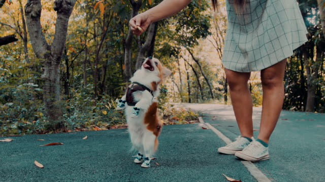 chihuahua dog reaching snack - cane addestrato video stock e b–roll