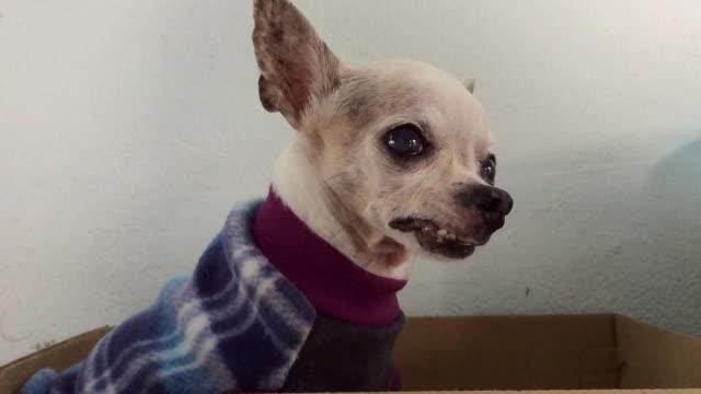 vídeos de stock, filmes e b-roll de cão chihuahua, descansando numa caixa de sapato - moda de inverno
