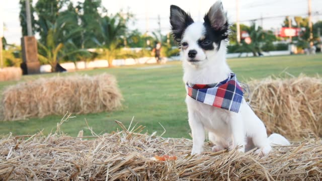 Chihuahua dog sitting on straw in pubilc park. Chihuahua small dog in friendship happy smile video