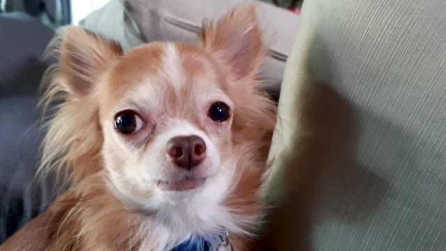chihuahua dog - soltanto un animale video stock e b–roll