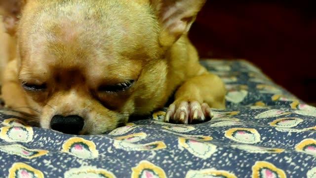 vídeos y material grabado en eventos de stock de chihuahua de perro - colchón
