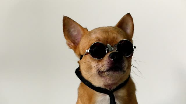 stockvideo's en b-roll-footage met chihuahua honden - ear