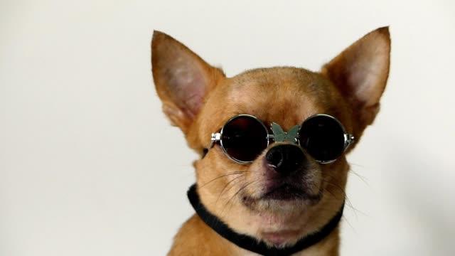 chihuahua hund - solglasögon bildbanksvideor och videomaterial från bakom kulisserna