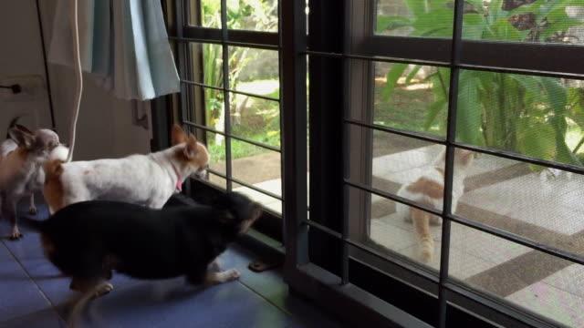 猫に吠えるチワワ犬 - 愛玩犬点の映像素材/bロール