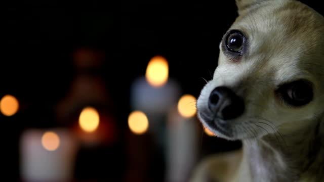 Chihuahua looking at the camera video