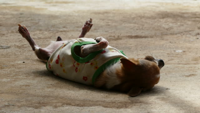 Chihuahua resting on concrete floor video