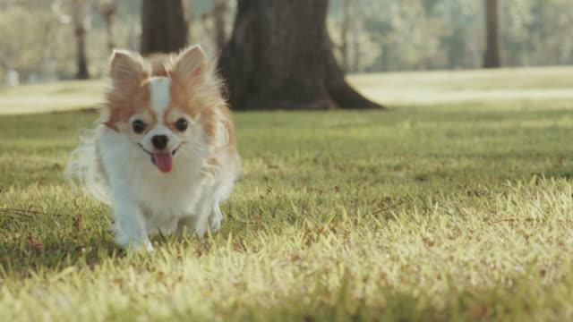 チワワ 4 k スローモーション カメラに向かって芝生の上を実行しています。 - 愛玩犬点の映像素材/bロール